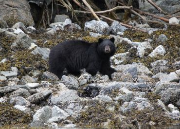 Black bear on the beach!