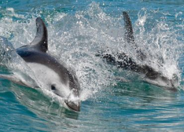 Pacific White Sided Dolphins taken by telephoto