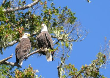 Bald eagle sentries
